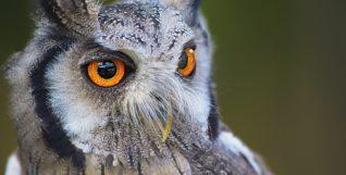 owl-1705112_1920