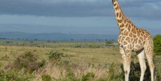 giraffe-2064227