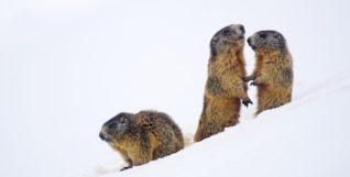 marmot-2366423_1280