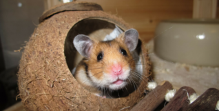 pet shop hamster